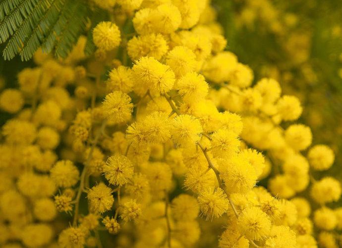 Mimose-copertina
