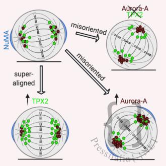 """orientamento del fuso mitotico in una cellula normale o in presenza di livelli alterati di Aurora-A o TPX2. Da """"Polverino et al., 2020, Current Biology"""". Created with BioRender.com."""
