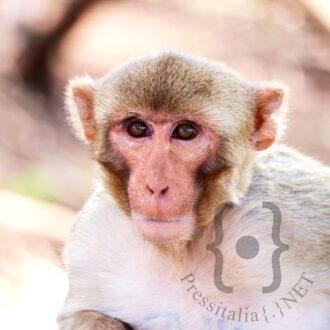 Macaco reso - Foto di Alexandra Rosati