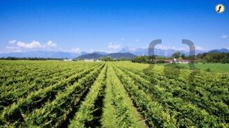 Vigneto Friuli