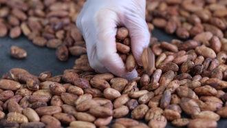 Selezione fave di cacao